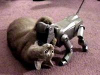 aido se chamaille avec un chat domestique.